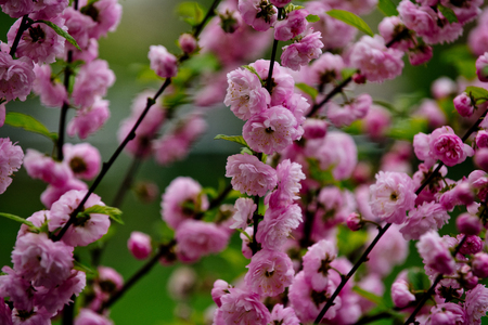 sakura or cherry tree flowers pink color on branch