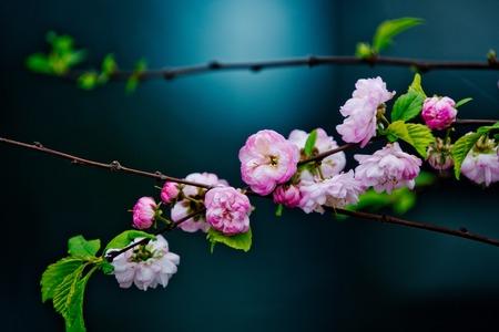 pink cherry blossom or sakura flower in spring season at japan on blurred background