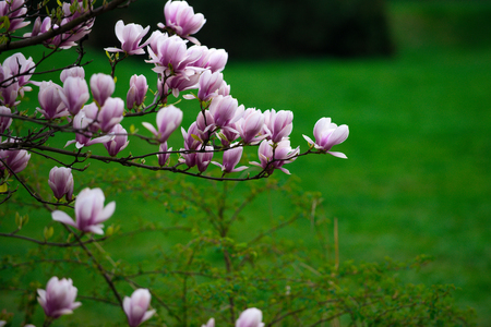 beautiful flowers of magnolia blooming tree pink color on branch on green grass natural background