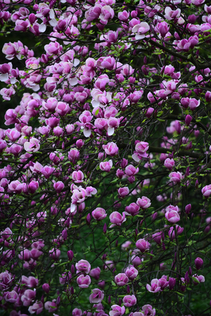 magnolia tree blossom with pink flowers on branch in garden