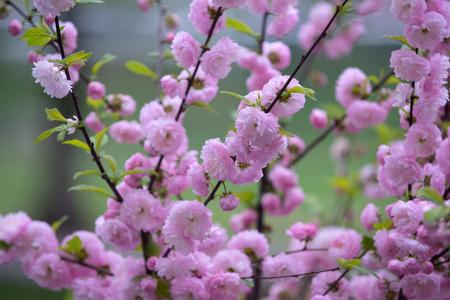 tender flowers of sakura bloom on tree branch outdoor Stock Photo