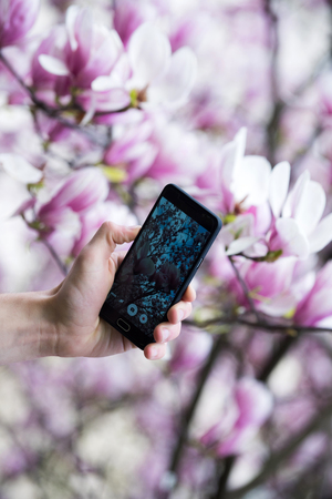 hand of tourist photographing on smartphone blooming magnolia, nature, pink flower background, weblog and communication, social network and media