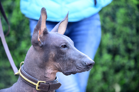 Mexican Hairless Dog Portrait On Blurred Background Photo