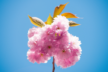 pink cherry blossom or sakura flower with blue sky in spring season at japan sunny outdoor Stock Photo