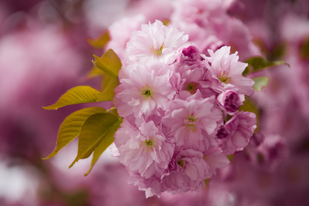 flower background in spring or summer nature in japan, floral design, valentines day, mothers day Stock Photo