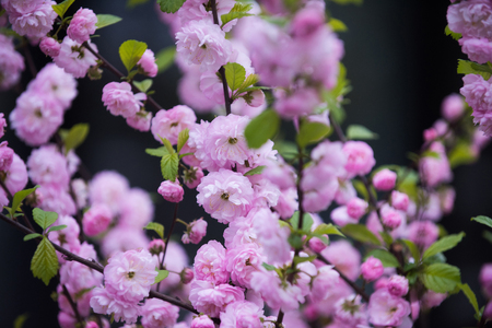 sakura. beautiful flowers of japanese cherry or sakura blooming tree pink color on branch on blurred natural background Stock Photo