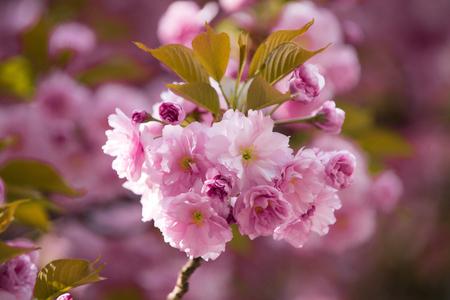 flowers with leaves on sakura tree on blurred natural background Stock fotó