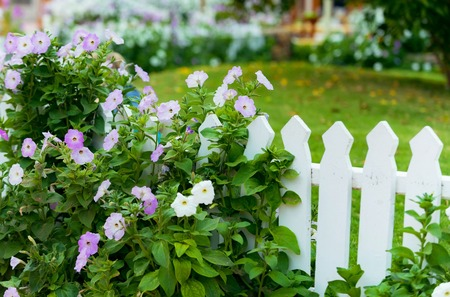 garden with beautiful violet flowers of convolvulus bush and green grass near white wooden fence outdoor on natural background Stock Photo