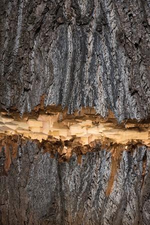 나무 줄기. 오래 된 나무 나무 줄기 굵고, 자연 껍질 질감 표면 다진 또는 갈색 목재 배경에 lumberer 또는 비버 동물으로 잘라. 목조 부분. 벌채 반출. 건 스톡 콘텐츠