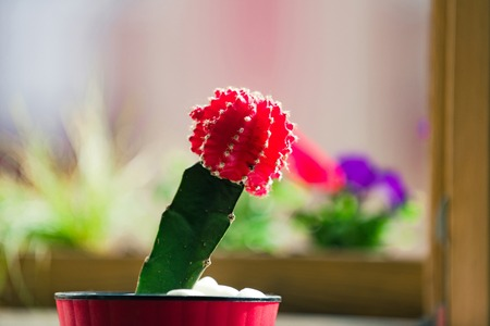 cactus plant green and red color in pot on blurred background, gardening and comfort
