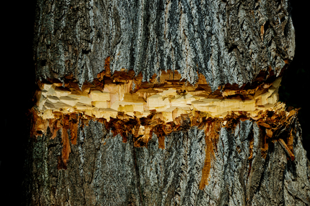 tree, coarse, old bark texture surface chopped or cut by lumberer or beaver animal on natural wood trunk on brown timber background. Woodwork. Logging. Building and construction. Forest devastation
