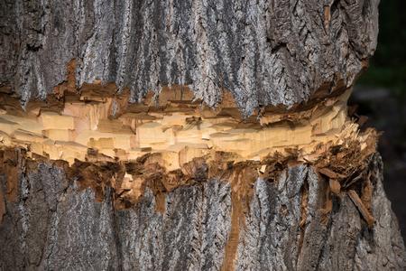 粗、古い樹皮のテクスチャー サーフェスみじん切りまたは茶色の木材の背景に製材業者またはビーバーの動物カットで木材の木トランク。木工品。 写真素材