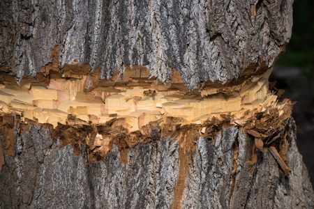Natural wood tree trunk with coarse, old bark texture surface chopped or cut by lumberer or beaver animal on brown timber background. Woodwork. Logging. Building and construction. Forest devastation Stock Photo