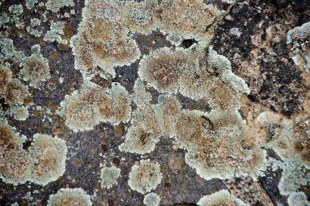 グレー、グリーン、ブラウン自然、木の樹皮の表面の質感、抽象的な灰色の背景の外層粒状コルク無節と地衣類。自然、生物学。汚染の指標。不健 写真素材