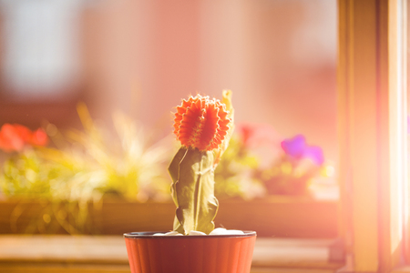 cactus plant in sunlight green and red color in pot on blurred background, gardening and comfort