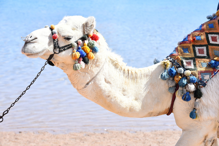 Arabian camel animal with head decorated by multicolored pompons on background of beach and blue ocean outdoor