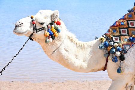 Arabisch kameeldier met hoofd dat door multicolored pompons op achtergrond van strand en blauwe oceaan openlucht wordt verfraaid Stockfoto