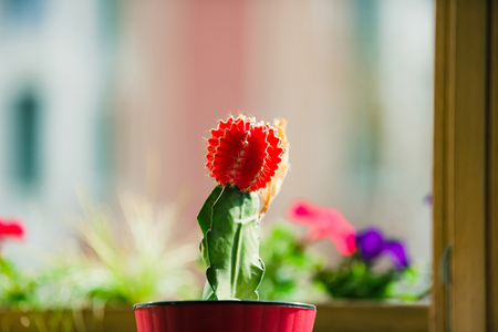 cactus. plant green and red color in pot on blurred background, gardening and comfort