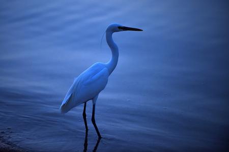Aigrette grote mooie wilde vogel met witte veren lange nek en benen staande in blauw water in de zomeravond buiten. Natuur. Wildlife Stockfoto