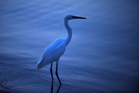 Egret big beautiful wild bird with white feathers long neck and legs standing in blue water in summer evening outdoor. Nature. Wildlife Stock fotó