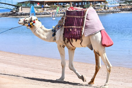 Domestic camel animal with multicolored colorful pompons and saddle on humps exotic transport walking along beach of blue ocean