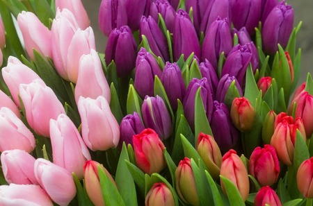 tulips or rosy, violet and red flowers with green leaves as colorful floral background. Spring, blossom 版權商用圖片