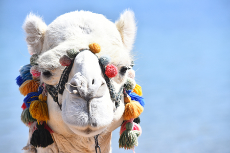 Muzzle of camel mammal animal decorated with colorful multicolored pompons on blue background