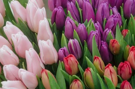 아름 다운 꽃 배경에 녹색 잎 다채로운 신선한 튤립 꽃. 봄, 꽃 스톡 콘텐츠