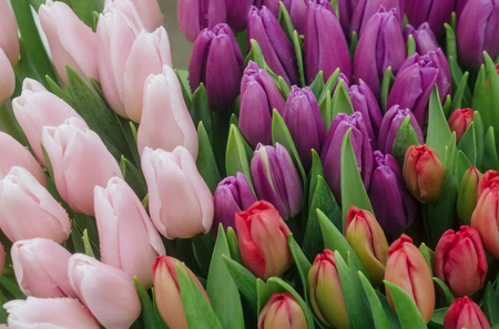 flowers of colorful fresh tulips with green leaves on beautiful floral background. Spring, blossom