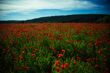 landscape of flower field with red poppy seed on green stem on blue sky background, summer and spring, drug and love intoxication, opium