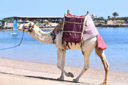 Camel, exotic animal with multicolored pompons and saddle on humps walking along beach of blue ocean Stock Photo