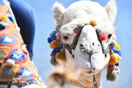 Camel. Animal decorated with colorful multicolored pompons on blue background Stock Photo