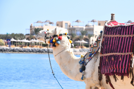 Arabic camel with multicolored pompons and saddle on humps exotic transport walking along beach of blue ocean Banco de Imagens