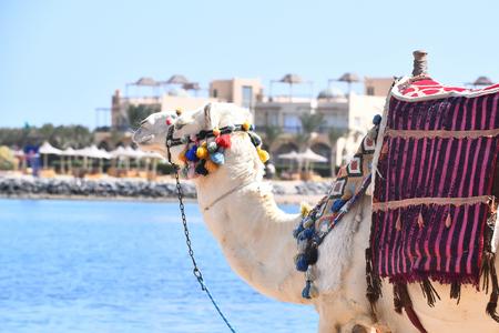 Arabische kameel met veelkleurige pompons en zadel op bulten exotische transport lopen langs het strand van de blauwe oceaan
