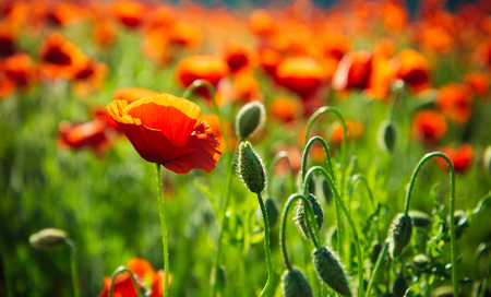 緑の茎の美しいケシの実フィールド、赤い花 写真素材