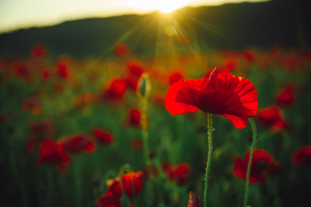 flower. field of red poppy seed on green stem as background, summer and spring, drug and love intoxication, opium