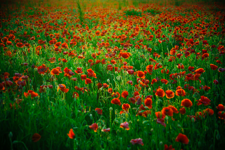 field of red poppy seed flower on green stem as background, summer and spring, drug and love intoxication, opium Stock Photo