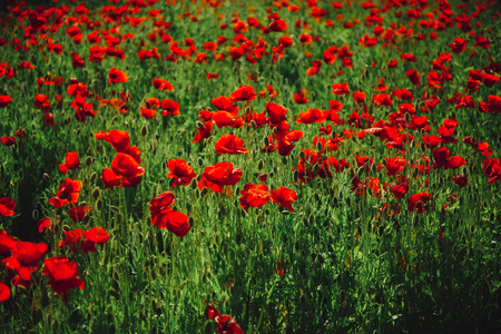 flower field of red poppy seed on green stem as background, summer and spring, drug and love intoxication, opium