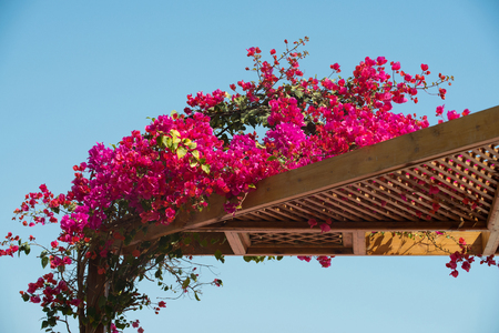 Bush with beautiful magenta blossom spring flowers creeping above wooden carved roof decoration in rural style on background of natural blue sky