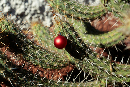 Plant with sharp spines on sunny day. Christmas holiday celebration concept. Red bauble hanging from prickle. Desert nature and natural environment. Cactus with new year ball. Stok Fotoğraf