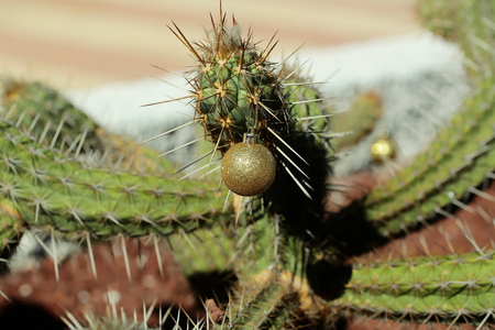 Cactus with new year ball. Plant with sharp spines on sunny day. Golden bauble hanging from prickle. Christmas holiday celebration concept. Desert nature and natural environment.