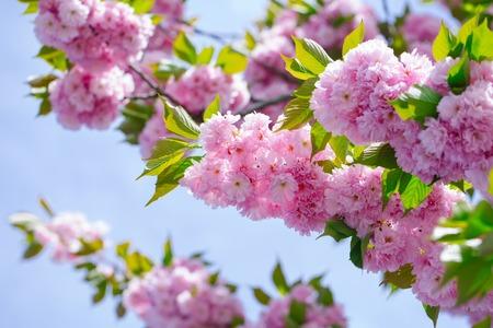 벚꽃이 만발한 꽃과 푸른 하늘에 녹색 나뭇잎. 자연 백그라운드에 화창한 날에 핑크 사쿠라 꽃. 봄 시즌 개념 스톡 콘텐츠