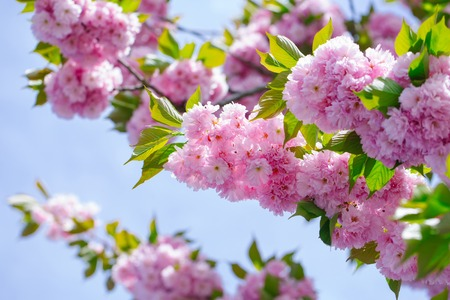 Cherry blossoming flowers and green leaves on blue sky. Pink sakura bloom on sunny day on natural background. Spring season concept