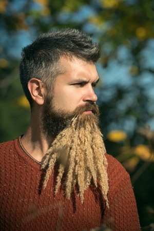 Season and autumn holiday. Hipster or bearded guy in autumn nature outdoor. Man with natural spikelet beard sunny fall. Floral fashion and beauty. Spikelet beard at barber and hairdresser. Stock Photo