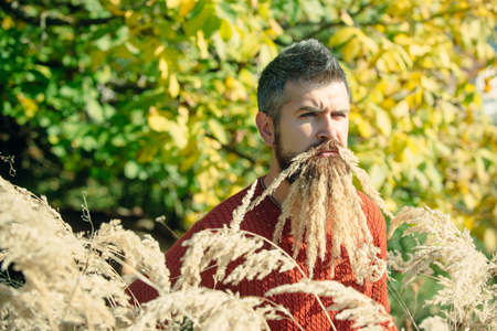 Spikelet beard at barber and hairdresser. Floral fashion and beauty. Hipster or bearded guy in autumn nature outdoor. Season and autumn holiday. Man with natural spikelet beard sunny fall.