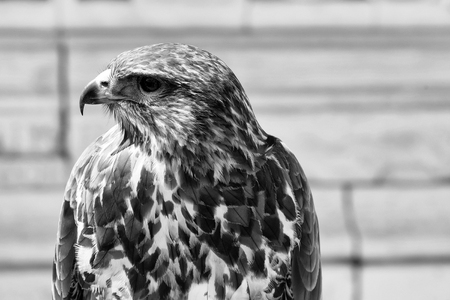 cute eagle with white and brown feathers and sharp beak sitting outdoor closeup