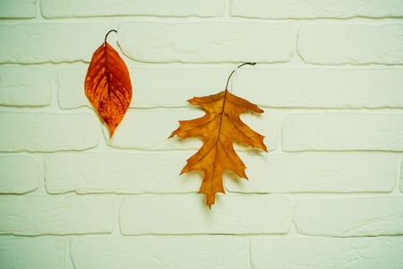 autumn leaves on white brick wall. autumn season and weather. autumn background with orange and yellow leaf. vintage seasonal composition. ecology and floral design.