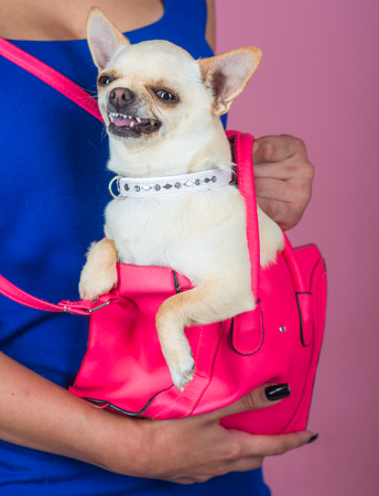 Devotion and constancy concept. Chihuahua dog smiling in pink bag. Puppy face with happy smile on violet background. Protection, alertness, bravery. Pet, companion, friend, friendship.