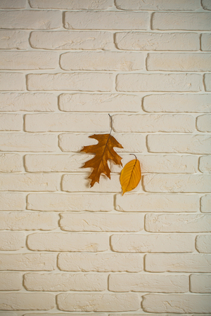 autumn background with orange and yellow leaf. autumn leaves on white brick wall. autumn season and weather. vintage seasonal composition. ecology and floral design.