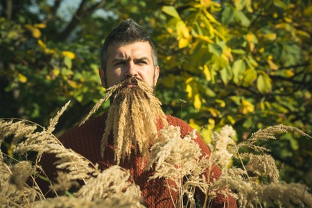 Man with natural spikelet beard sunny fall. Spikelet beard at barber and hairdresser. Hipster or bearded guy in autumn nature outdoor. Floral fashion and beauty. Season and autumn holiday.